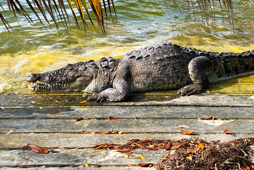 Crocodiles in Cancún